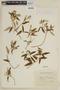 Salvia chorianthos Epling, ARGENTINA, F