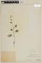 Salvia coccinea Buc'hoz ex Etl., PERU, F