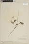 Salvia coccinea Buc'hoz ex Etl., VENEZUELA, F