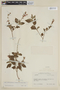 Salvia coccinea Buc'hoz ex Etl., COLOMBIA, F