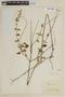 Salvia coccinea Buc'hoz ex Etl., BRAZIL, F