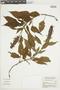 Salvia congestiflora Epling, BRAZIL, F