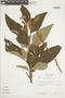 Salvia confertiflora Pohl, BRAZIL, F