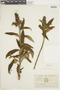 Salvia corrugata Vahl, ECUADOR, F