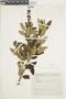Salvia corrugata Vahl, COLOMBIA, F