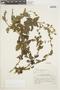 Salvia cruckshanksii Benth., PERU, F