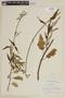 Salvia discolor Kunth, PERU, F