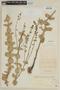 Salvia durifolia Epling, PARAGUAY, F