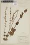 Salvia durifolia Epling, ARGENTINA, F
