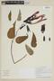 Salvia dombeyi Epling, PERU, F