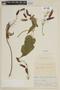 Salvia dombeyi Epling, BOLIVIA, F