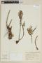 Satureja parvifolia image