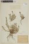 Stachys albicaulis image
