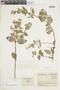 Minthostachys mollis (Kunth) Griseb., COLOMBIA, F