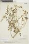 Minthostachys mollis image