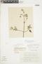 Minthostachys mollis (Kunth) Griseb., BOLIVIA, F