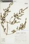 Minthostachys mollis (Kunth) Griseb., Peru, S. Llatas Quiroz 2478, F