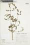 Minthostachys mollis (Kunth) Griseb., Peru, S. Llatas Quiroz 2464, F