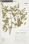 Minthostachys mollis (Kunth) Griseb., Peru, S. Llatas Quiroz 2476, F