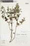 Minthostachys mollis (Kunth) Griseb., Peru, S. Llatas Quiroz 2381, F