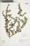 Minthostachys mollis (Kunth) Griseb., Peru, J. M. Cabanillas S. 380, F
