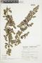 Minthostachys mollis (Kunth) Griseb., Peru, S. Llatas Quiroz 3293, F