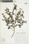 Minthostachys mollis (Kunth) Griseb., Peru, S. Llatas Quiroz 2416, F