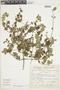 Minthostachys mollis (Kunth) Griseb., Peru, S. Llatas Quiroz 1543, F