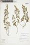 Minthostachys mollis (Kunth) Griseb., Peru, I. M. Sánchez Vega 6533, F