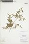 Minthostachys mollis (Kunth) Griseb., Peru, N. Dostert 98/38, F