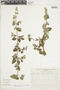 Minthostachys mollis (Kunth) Griseb., Peru, I. M. Sánchez Vega 3287, F