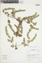 Minthostachys mollis (Kunth) Griseb., Peru, J. M. Cabanillas S. 455, F