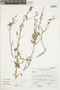 Salvia grisea Epling & Mathias, PERU, F