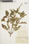 Salvia guaranitica A. St.-Hil. ex Benth., PARAGUAY, F