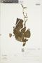 Salvia guaranitica A. St.-Hil. ex Benth., BRAZIL, F