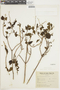 Salvia guaranitica A. St.-Hil. ex Benth., ARGENTINA, F