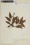 Salvia hilarii Benth., BRAZIL, F