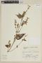Salvia hirta Kunth, PERU, F