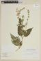 Salvia hirta Kunth, ECUADOR, F