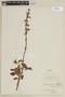 Salvia hirtella Vahl, COLOMBIA, F