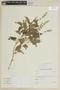 Salvia hispanica L., ECUADOR, F