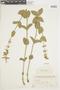 Salvia lucida Briq., PARAGUAY, F