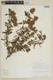 Salvia macbridei Epling, PERU, F