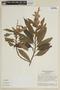 Salvia macrocalyx Gardner, BRAZIL, F
