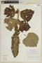 Salvia macrostachya Kunth, ECUADOR, F