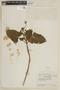 Salvia macrophylla Benth., ECUADOR, F