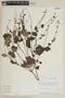 Salvia malacophylla Benth., PERU, F