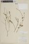Salvia misella Kunth, PERU, F