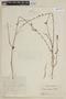 Salvia misella Kunth, COLOMBIA, F