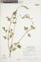 Salvia oppositiflora Ruíz & Pav., PERU, F